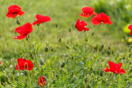 Bright red poppy flowers on a sunny day.
