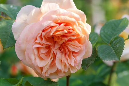 Blooming apricot rose in the garden on a sunny day. David Austin Rose Charles Austin