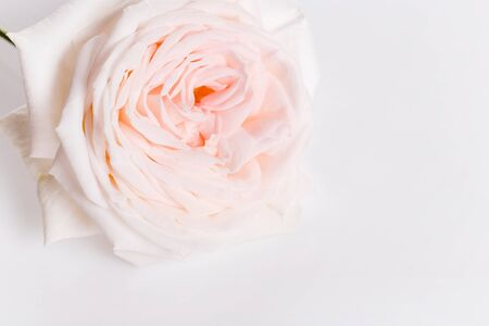 Romantic banner, delicate white pink rose flowers close-up. Fragrant pink petals Stock fotó