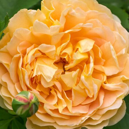 Blooming yellow rose in the garden on a sunny day. David Austin Rose Golden Celebration