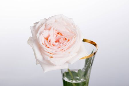 Pale pink pastel rose in a glass vase with a gold rim on a white background Reklamní fotografie