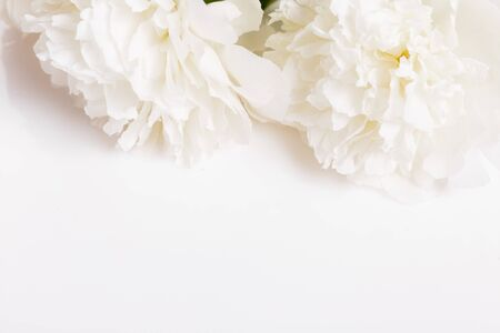 Romantic banner, delicate white peonies flowers close-up. Fragrant pink petals