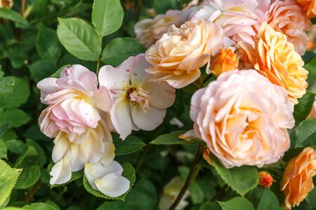 Blooming yellow orange roses in the garden on a sunny day. Charles Austin Rose