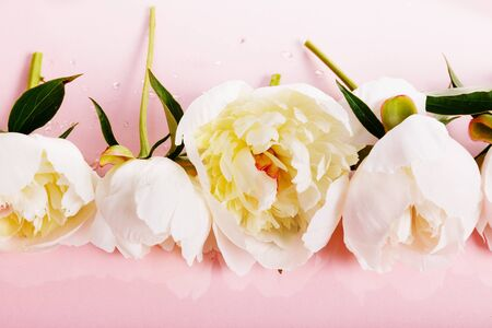 Delicate white pink peony with petals flowers on pink background. Overhead top view, flat lay. Copy space. Reklamní fotografie