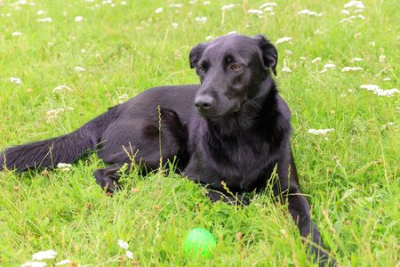 Happy black dog lying on the lawn in the garden and playing with a ball