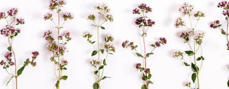 Purple flowers of origanum vulgare or common oregano, wild marjoram