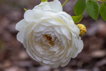 Blooming creamy white rose in the garden on a sunny day close up. Фото со стока