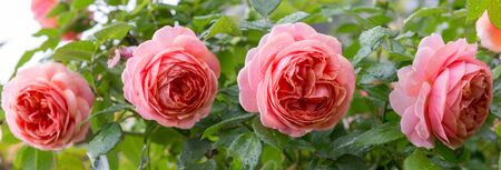 Beautiful roses blooming in the garden during the rain in autumn, raindrops