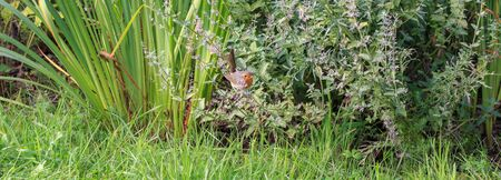 Robin, a small bird with an orange breast in the garden among the greenery of perennial flowers, summer background
