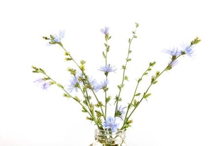 Cichorium intybus - common chicory flowers isolated on the white background