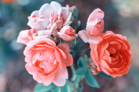 Beautiful coral roses flowers in garden close up. Tinted effect Stock fotó