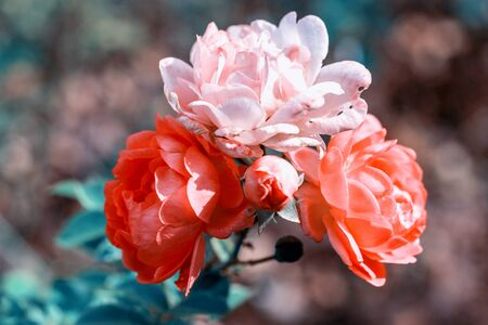 Beautiful coral roses flowers in garden close up. Tinted effect Stock Photo