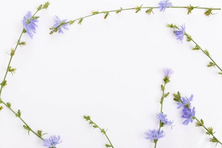 Cichorium intybus - common chicory flowers isolated on the white background Foto de archivo - 136175695