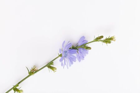 Cichorium intybus - common chicory flowers isolated on the white background Foto de archivo - 136175696