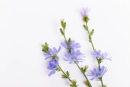 Cichorium intybus - common chicory flowers isolated on the white background Foto de archivo - 136175699