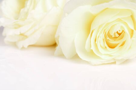 Romantic banner, delicate white roses flowers close-up. Fragrant crem yellow petals, abstract romance background, pastel and soft flower card Foto de archivo - 135953255