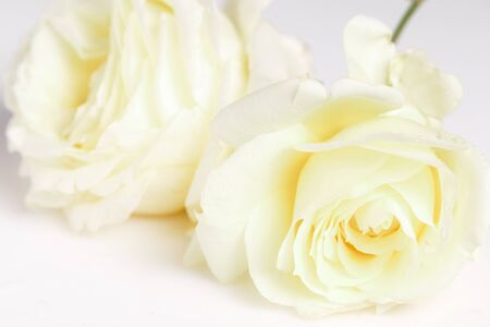 Romantic banner, delicate white roses flowers close-up. Fragrant crem yellow petals, abstract romance background, pastel and soft flower card Foto de archivo - 135953258