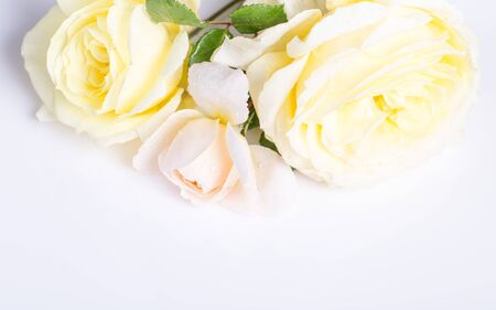 Romantic banner, delicate white roses flowers close-up. Fragrant crem yellow petals, abstract romance background, pastel and soft flower card Foto de archivo - 136001213