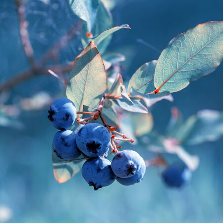 Fresh Organic Blueberries on the bush, close up, tinted effect, color year 2020 classic blue Foto de archivo - 136100544