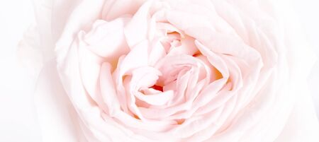 Romantic banner, delicate white roses flowers close-up. Fragrant crem pink petals 版權商用圖片