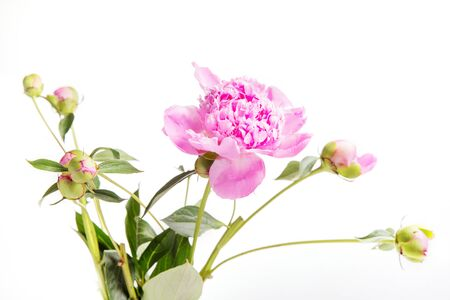 Pink peony with buds, bouquet isolated on white background