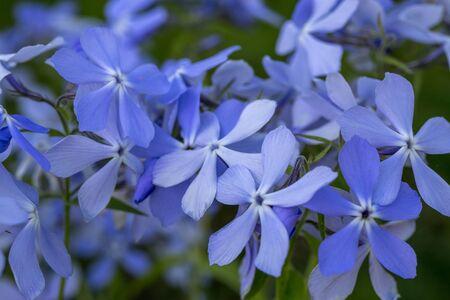 Phlox divaricata - wild sweet william - woodland phlox - wild blue phlox