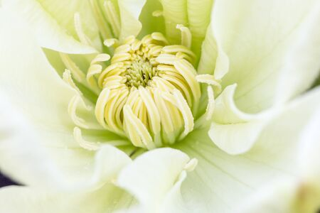 Middle of beautiful flower clematis close-up, macro, shallow depth of field Stock fotó