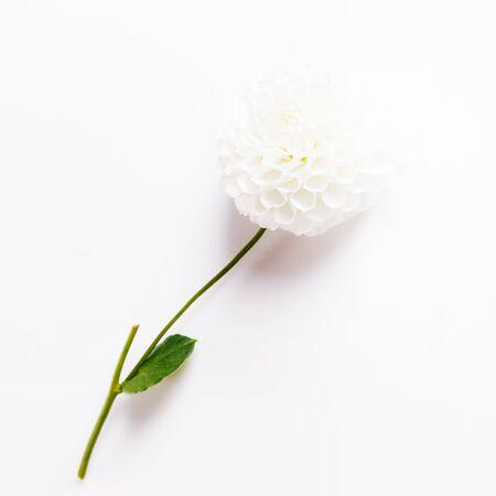 Beautiful white dahlias on a white background.