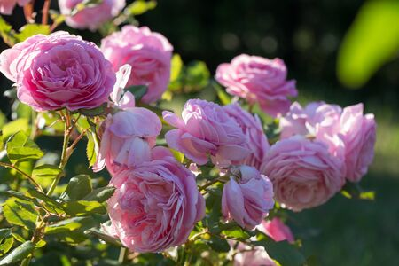 Beautiful pink rose in a garden in sunny day