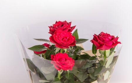 Miniature red roses in a pot Stock fotó
