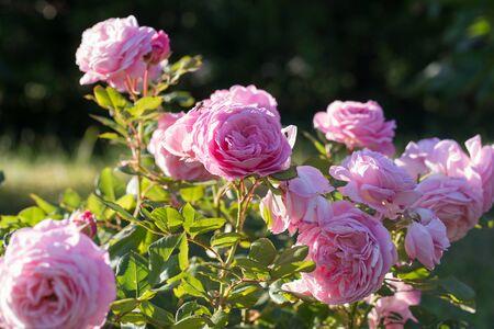 Beautiful pink nostalgic rose Rosengrafin Marie Henriette in a garden.