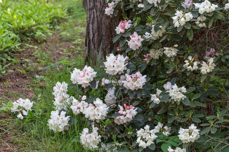 Large flowering rhododendron bush with white flowers and pink buds in a pine forest
