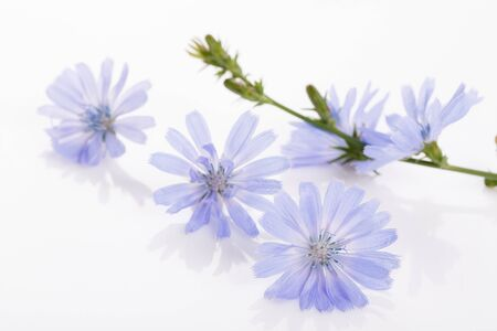 Fresh blue flowering chicory on white background