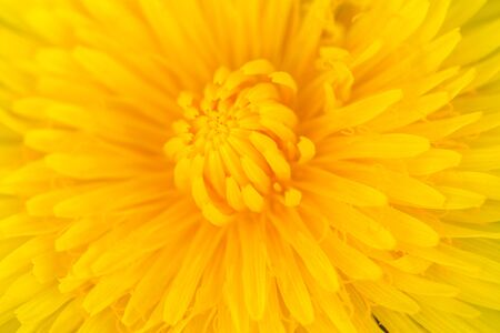 Yellow center of yellow beautiful dandelion flower showing fibonacci pattern.