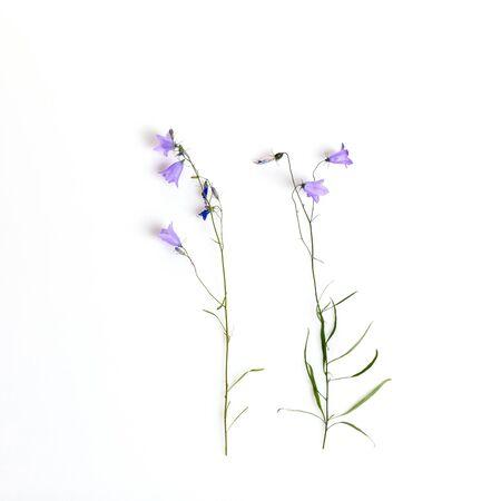Bellflowers isolated on white. Campanula rotundifolia, Field bell 版權商用圖片