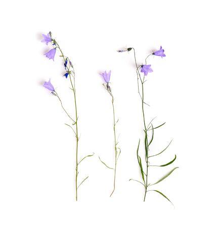 Bellflowers isolated on white. Campanula rotundifolia, Field bell