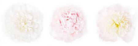 Three beautiful light peonies on a white background, top view, panoramic format, the concept of beauty, weddings, congratulations