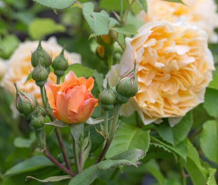 Blooming yellow and orange English roses in the garden on a sunny day. Rose Graham Thomas and Charles Austin