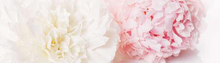 Romantic banner, delicate white peonies flowers close-up. Fragrant pink petals Zdjęcie Seryjne - 151420561