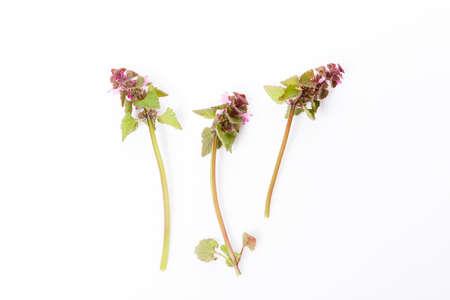 Lamium purpureum,red dead-nettle, purple dead-nettle, or purple archangel on white background, medicinal plant