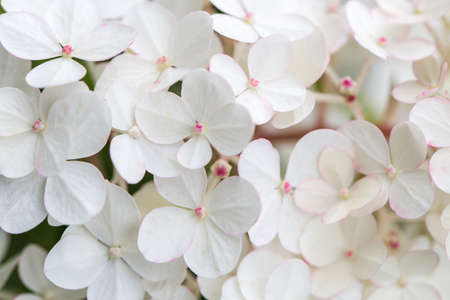 White hydrangea flowers panoramic border, banner, wedding romantic background. Flat lay. Zdjęcie Seryjne - 153280820