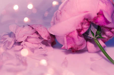 Pink rose close up, macro, petal and wilting flower, bokeh