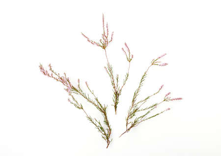 Sprigs of heather with light pink flowers on a white background