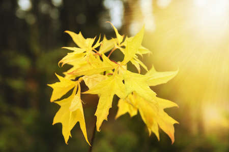 Autumn maple leaves backlight view. Yellow autumn maple leaves Zdjęcie Seryjne