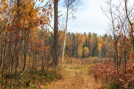 Autumn pine forest and yellow golden deciduous trees, panorama