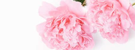 Romantic banner, delicate pink peonies flowers close-up. Fragrant pink petals Zdjęcie Seryjne