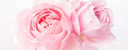 Romantic banner, delicate white roses flowers close-up. Fragrant crem pink petals Zdjęcie Seryjne