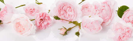 Romantic banner, delicate pink roses flowers close-up. Fragrant pink petals