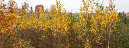 Autumn landscape with golden tree and green pine in the countryside, color contrast