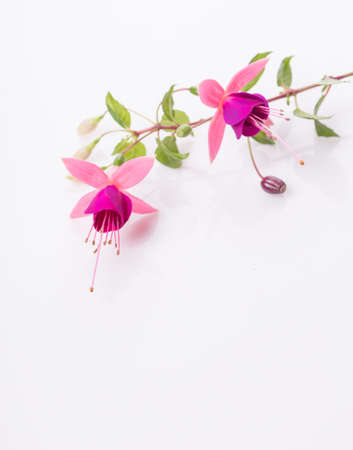 Group of pink fuchsia flowers isolated on white. Overhead top view, flat lay. Standard-Bild
